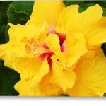 Гибискус жёлтый