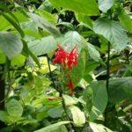 Красный пахистахис в открытом грунте
