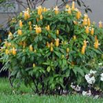 Жёлтый пахистахис в открытом грунте