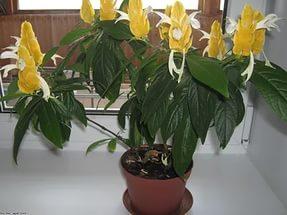 Жёлтый пахистахис