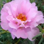 сорт Розовая дымка