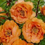 сорт Махровый оранжевый