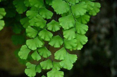 Ажурная листва адиантума