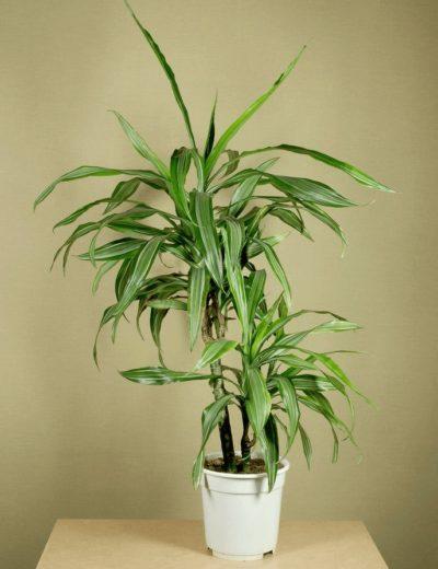 Выращивание Драцены Сандера дома- как посадить, ухаживать, удобрять, размножать