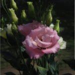 Эустома серии Золушка сорт Розовый