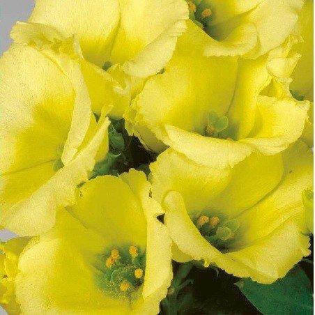 Цветы эустома и выращивание из семян в домашних 62