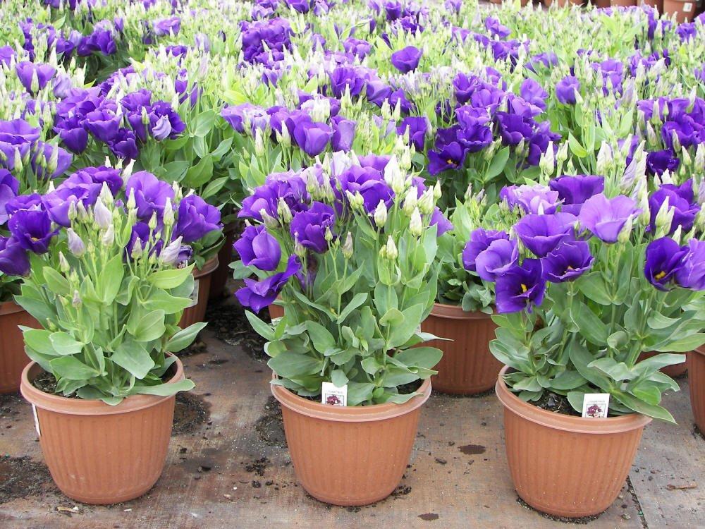 Цветы эустома и выращивание из семян в домашних 58