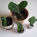 Фрагменты листка глоксинии