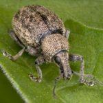 Долгоносик на листе стрептокарпуса