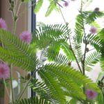 мимоза в домашних условиях