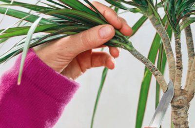 Как посадить драцену без корней в горшок