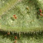 Паутинный клещ на домашнем растении
