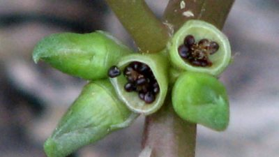 Коробочка семян портулака