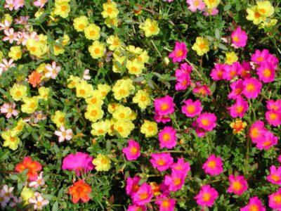Портулак в цвету