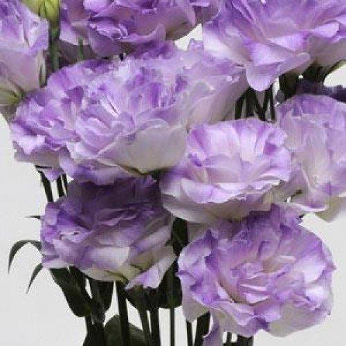 Цветы эустома и выращивание из семян в домашних 83