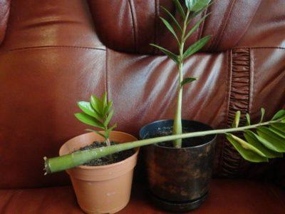 Укоренённый лист замиокулькаса