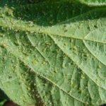 Колония тли на листе стрептокарпуса