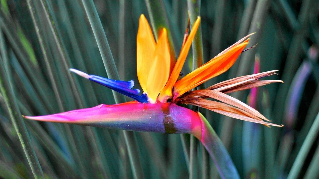 Фото цветка стрелиция королевская 50