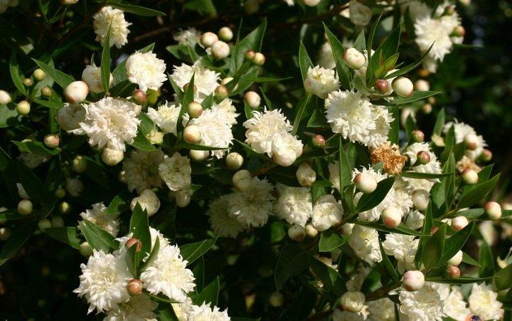 Фото цветка миртовое дерево