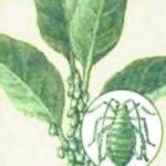 Поражение растения тлёй