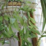 Поблёкшая расцветка листьев традесканции