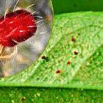 Поражение растения паутинным клещом