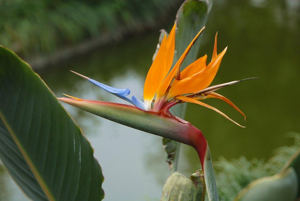 Фото цветка стрелиция королевская 47