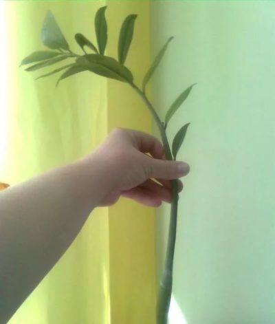Черенок замиокулькаса