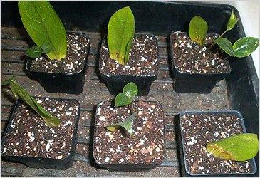 Размножение замиокулькаса листьями