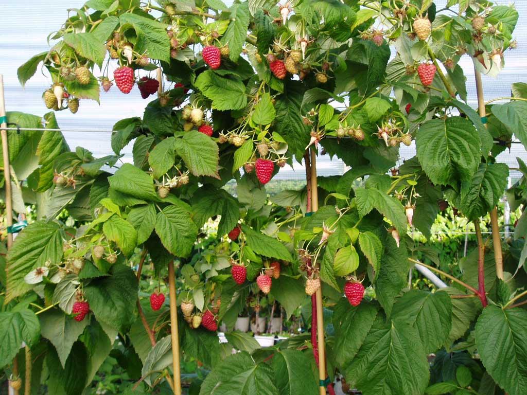 Как правильно обрезать малину весной и осенью? Общие рекомендации на ydoo.info