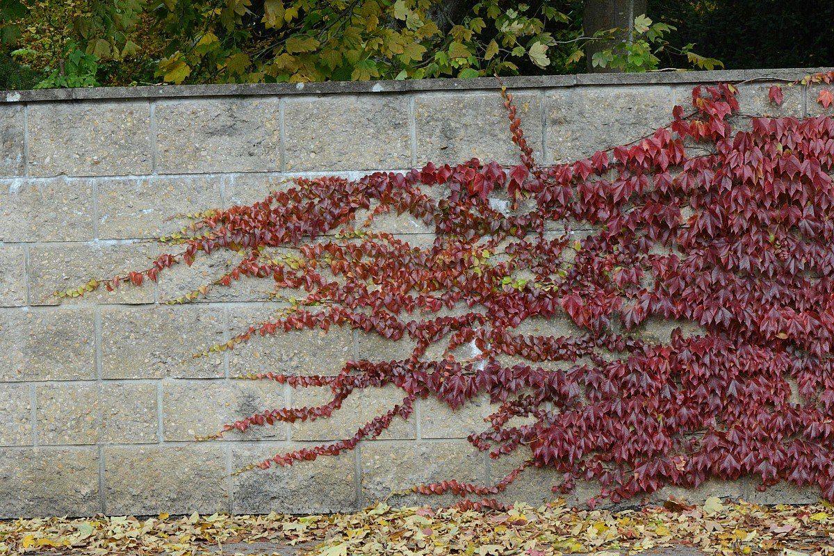 Девичий виноград для озеленения участка — чем он хорош и как его выращивать?