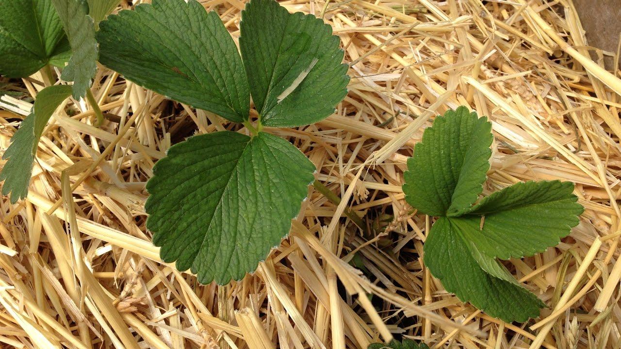 Как правильно высадить клубнику на агроволокно