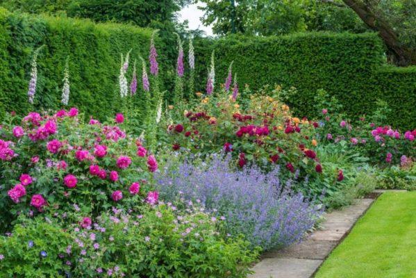 Розы в саду английского стиля