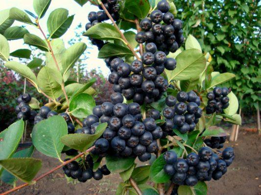 Арония черноплодная: посадка и уход, когда и как сажать, размножение, обрезка и подкормка