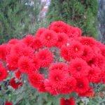 Хризанетмы красные Талисман