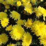 Хризантема корейская лучезарный