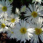 Хризантемы Edelweiss