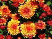 Красно-желтые цветущие хризантемы