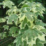 белоокаймленная листва клена остролистного Drummondii