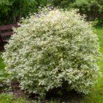 Цветущий куст дёрена белого