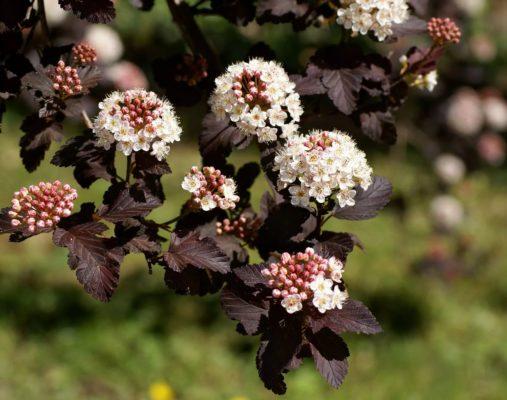 листва и цветы пузыреплодника калинолистного Diabolo