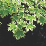 листва клена остролистного Drummondii