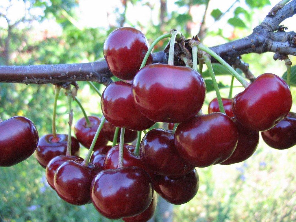 Вишня Лютовка описание и характеристики сорта урожайность выращивание и уход