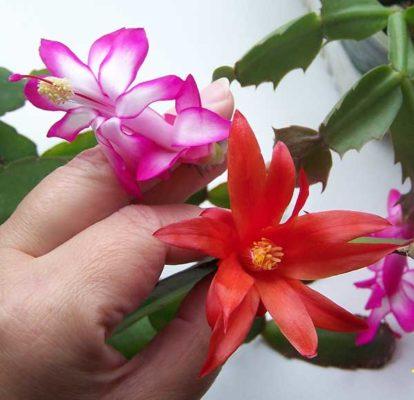 Цветки декабриста и рипсалидопсиса