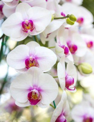 Цветки фаленопсиса