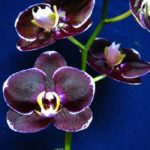 Фаленопсис Чёрная бабочка