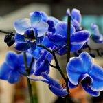 Фаленопсис Королевский синий