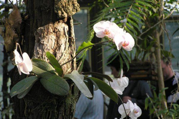 Фаленопсис в природе