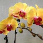 Фаленопсис Золотая красота