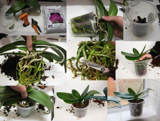 Пересадка орхидеи пошагово